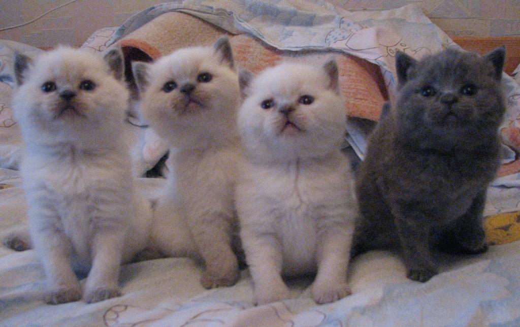 Милое и дорогое в прямом смысле слова потомство котят