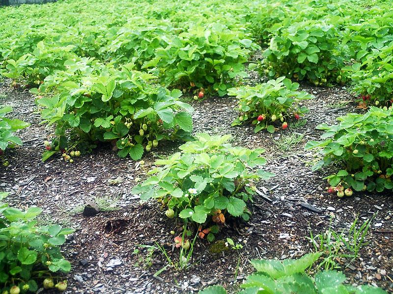 Выращивание клубники на открытом грунте