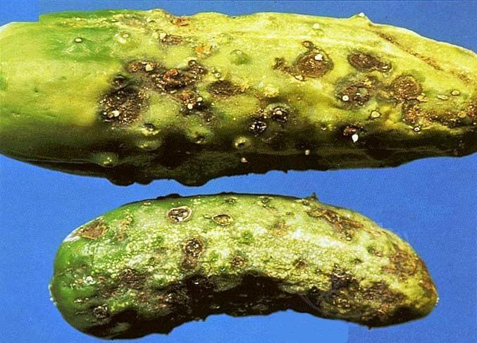 Оливковая пятнистость