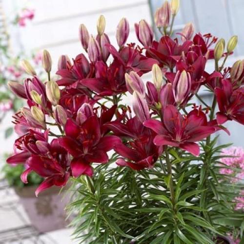 Выращивание лилий в квартире - не только доход, но и удовольствие