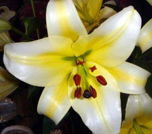 Чашевидная лилия