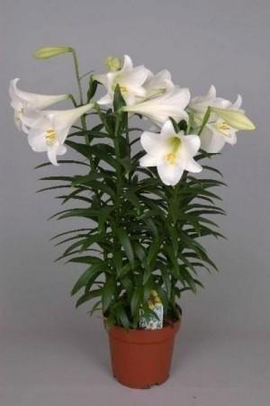 «Ароматная» идея для бизнеса: как выращивать комнатные лилии