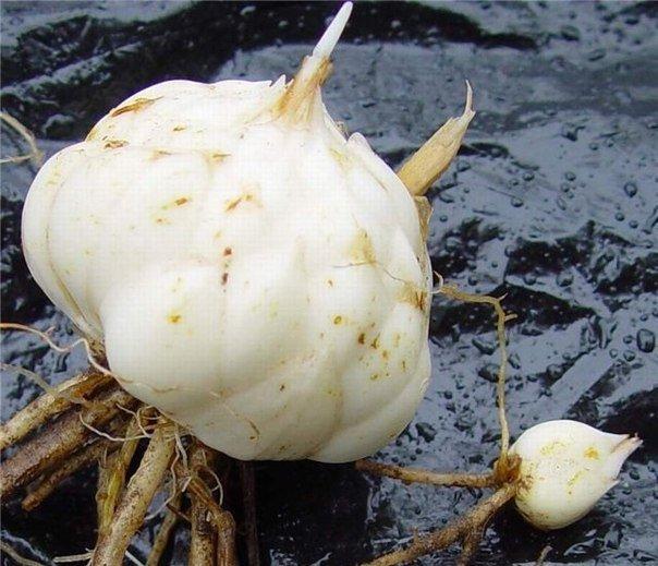 Хорошая луковица для посадки