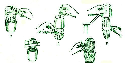 Схема пересадки кактусов