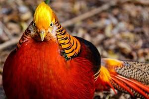 Экзотично и прибыльно: разведение фазанов в домашних условиях